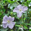 Hedera helix Efeu Hecke Clemantis - hellblaue Blüten