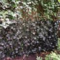 Rankhecke Weide  bewachsen im Garten an der Terrassse